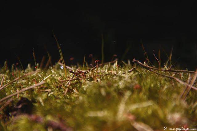 2 générations de mousses avec sporophytes et gamétophytes