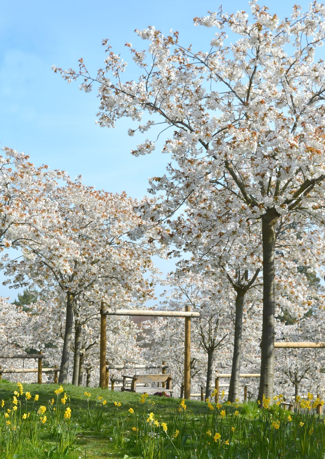 Cherry Blossom Trees at Alnwick Garden
