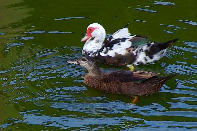 Ryukyu Life: Looks Like Okinawa May Have Muscovy Ducks (Photos)