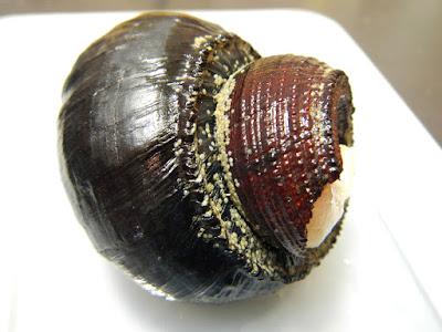 会いたかったヨモツヘグイニナ 手のひらぐらいの大きさでズッシリしている 殻頂の溶け具合も貫禄がある