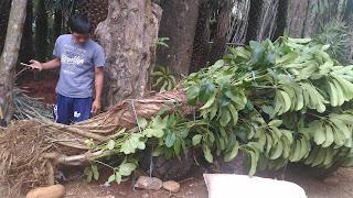 jual murah tanaman walisongo besar, pohon peneduh walisongo murah
