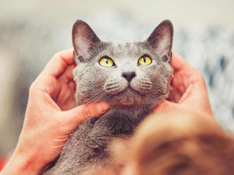 Affectionate of Russian Blue Cat