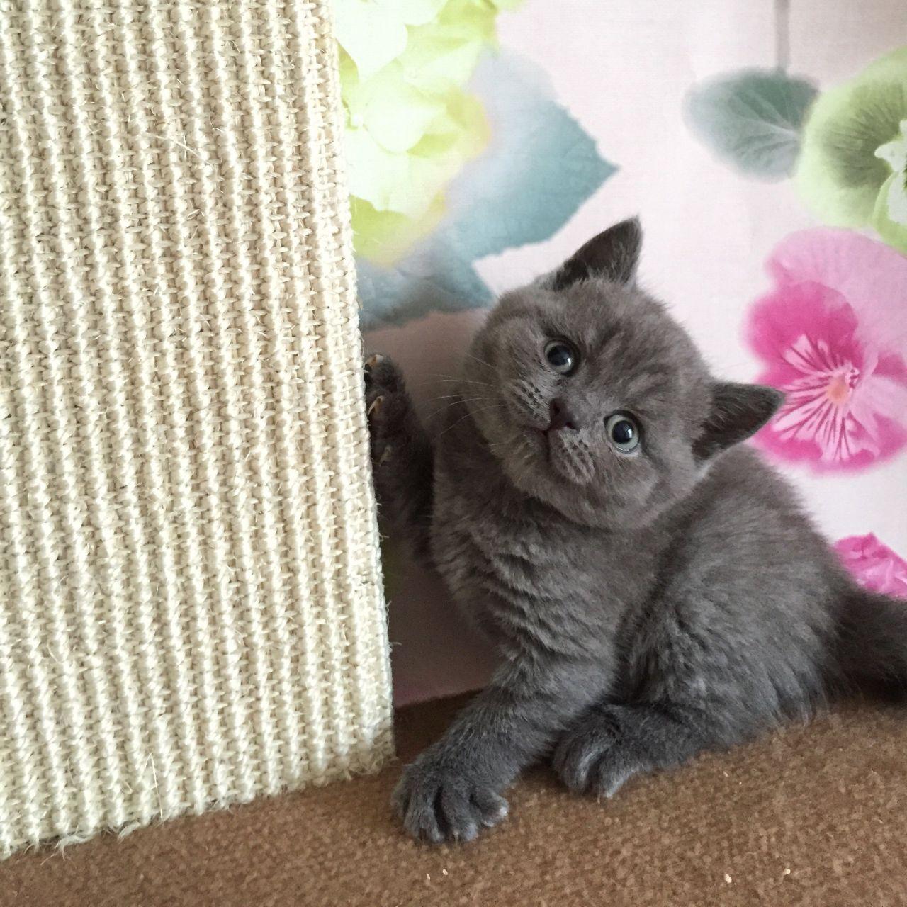 Where to adopt british shorthair kittens