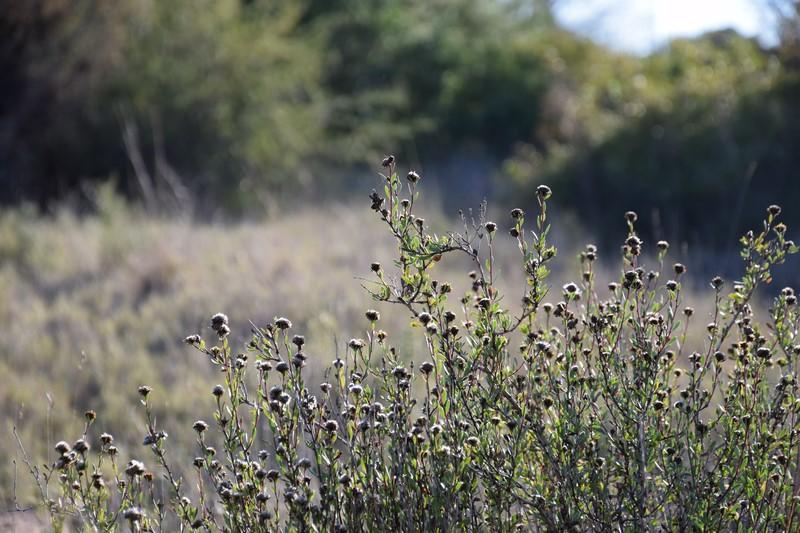 Globularia alypum para jardines de bajo mantenimiento - Jardines de bajo mantenimiento ...