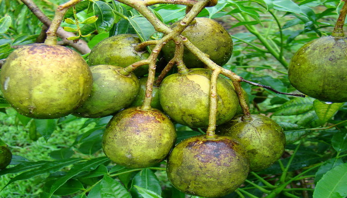 Manfaat buah kedondomg