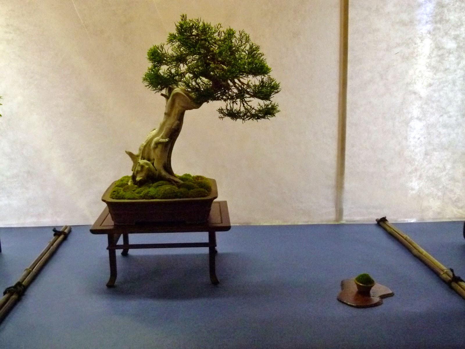 Bonsai Club Verbania Mostra Bonsai Presso Il Comune Di Baveno