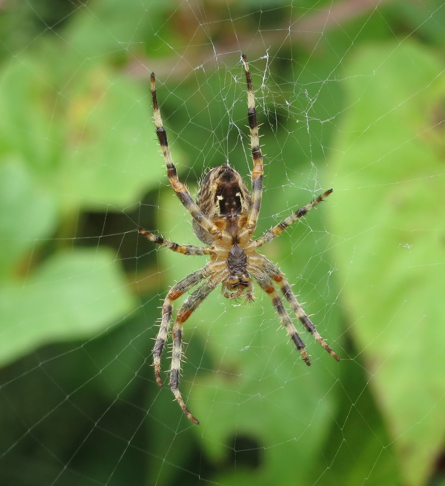 The stripy underside of a spider in its web