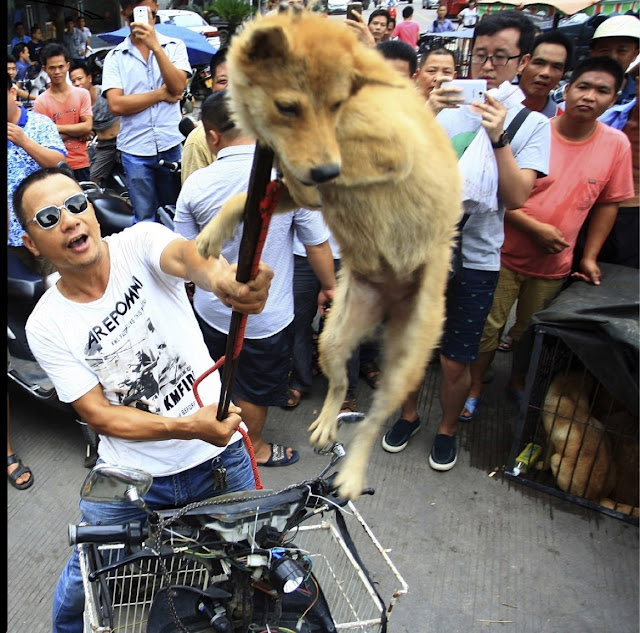 For the Yulin dog meat festival, some dogs are stolen from their owners and beaten or bled to death. Then they're hung upside down from hooks, a slit cut from their anus and skin ripped off their bodies, and sold to be eaten