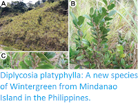 http://sciencythoughts.blogspot.co.uk/2016/10/diplycosia-platyphylla-new-species-of.html