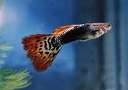 Jenis Ikan Guppy Termahal Green Red  Dragon Guppy