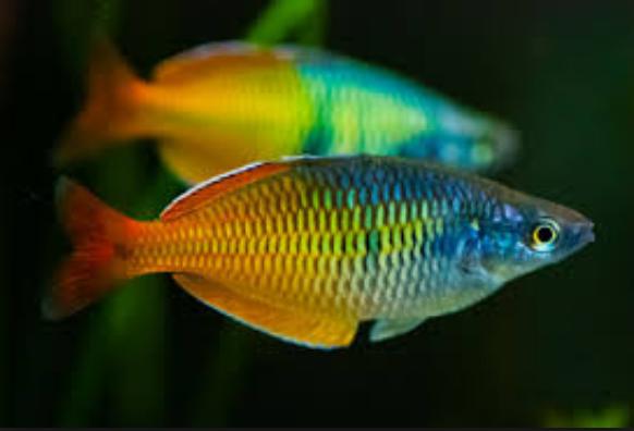 Ini Dia Budidaya Ikan Rainbow Boesemani Serta Jenisnya