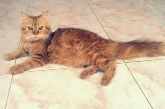 4 Jenis Kucing Persia Yang Bagus Di Indonesia Beserta