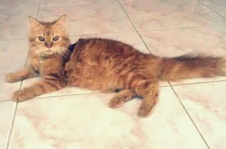 Jenis Kucing Persia Medium dan Harganya