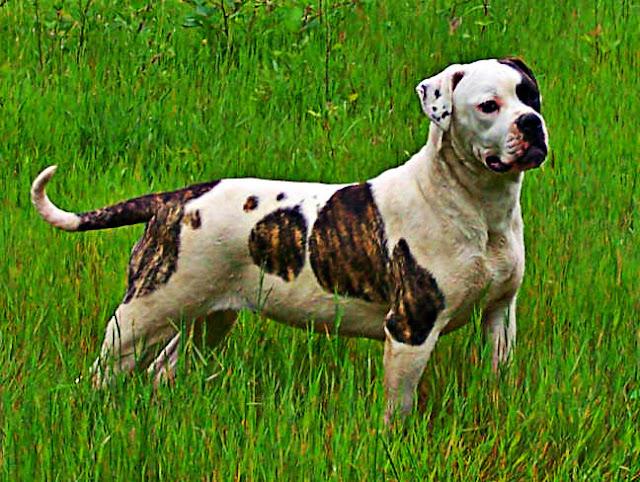 Bouledogue américain chien de garde
