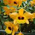 Hoàng thảo kim thoa (Dendrobium clavatum)