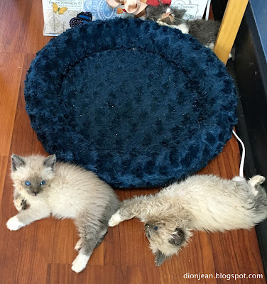 Foster kittens near a kitten bed