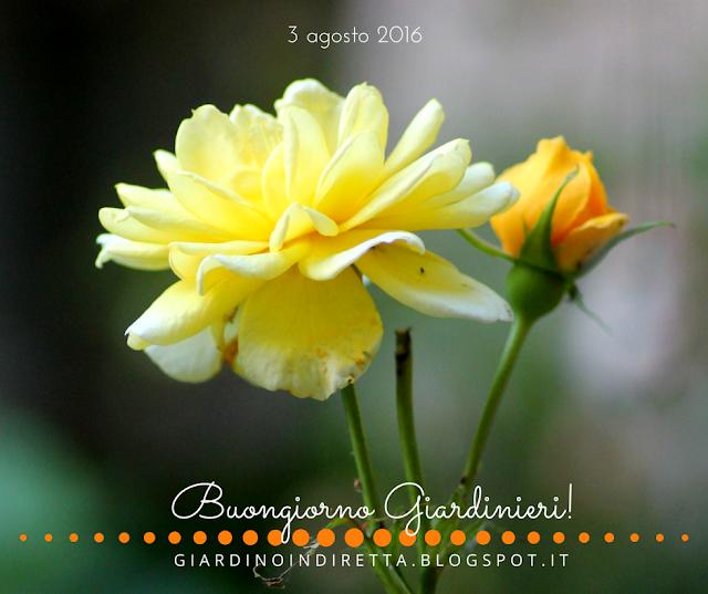 Rosa gpt Rimosa - il giardino dalla A alla Z - un giardino in diretta