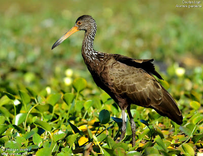 nido de Carau Aramus guarauna