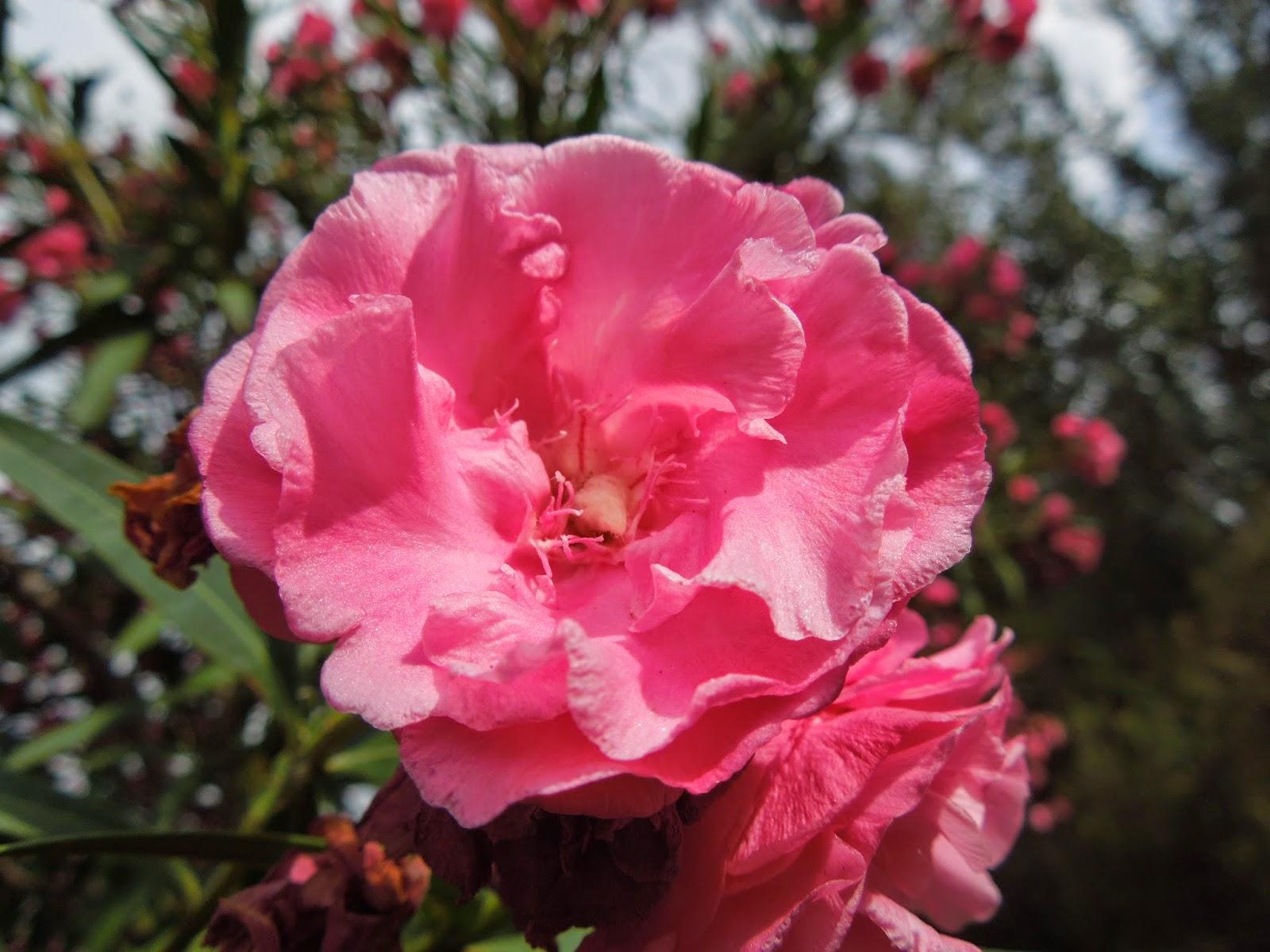 Adelfas de tres colores bot nic serrat - Rosas chinas ...