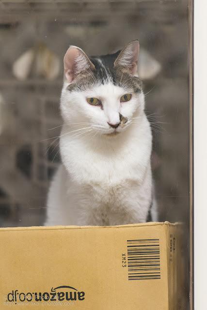 西国分寺シェルター、アマゾンのダンボールを寝床にしていた猫の写真