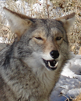 The Coyote Smiles for You