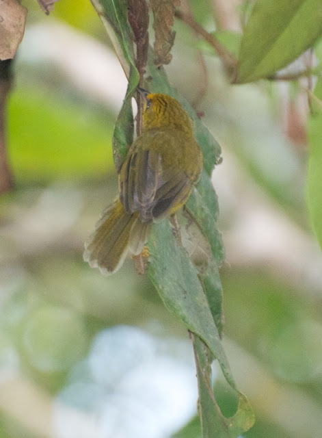Golden Babbler (Stachyridopsis chrysaea)