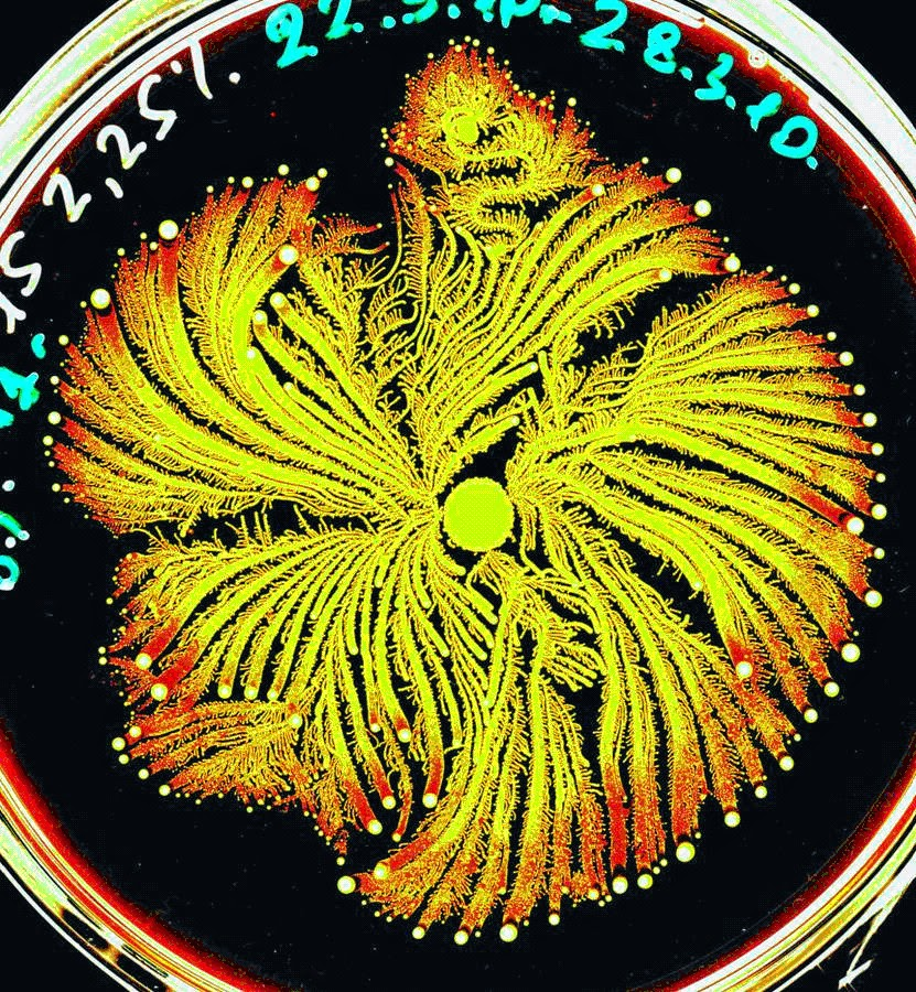 Fractals on petri plate