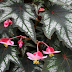Begonia Plants Care : Propagation by Leaves