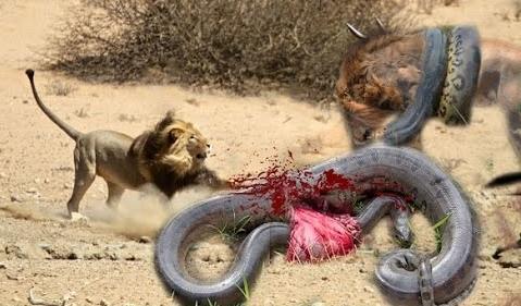 Wild animal attack anakonda vs lion vs cheeta nth eye
