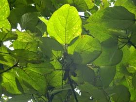 ficus frunze de la varicoză cum de a vindeca vene varicoase timp de 1 zi
