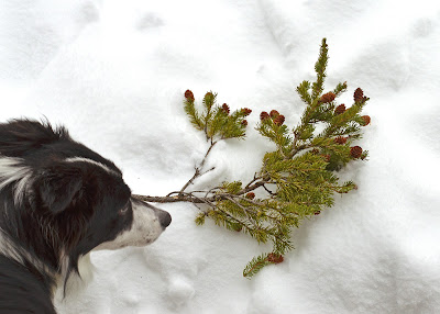 red spruce twig and rosie