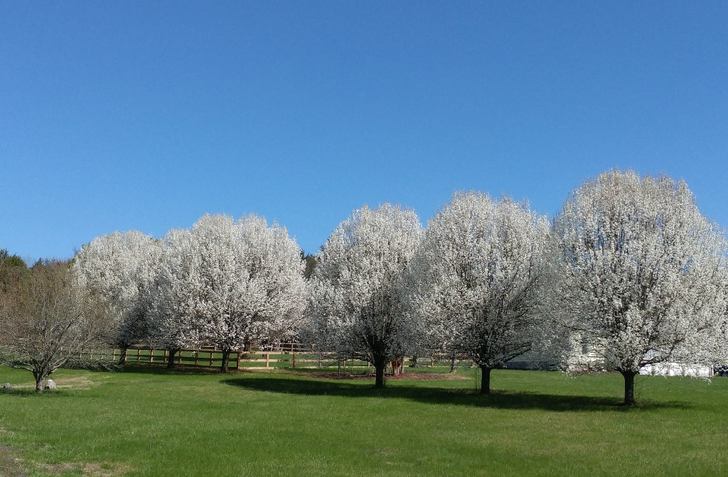 Bradford Pear Trees #nature #trees