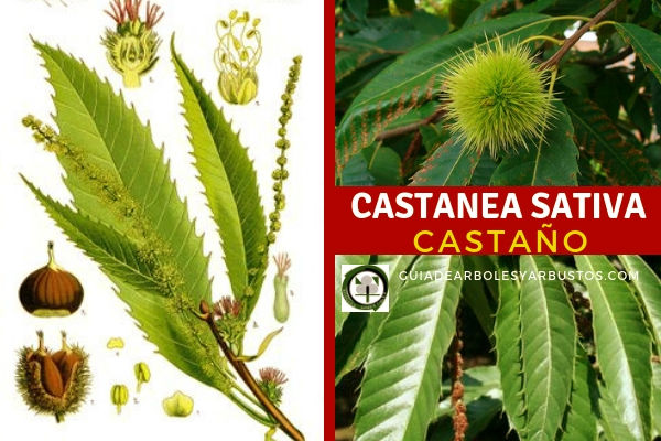 Castanea sativa, castaño, árbol fantástico para incluir en tu bosque comestible