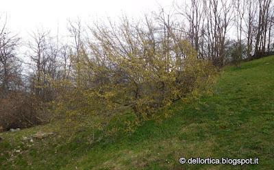 Corniolo Cornus mas piante spontanee erbe officinali percorsi olfattivi confettire erbe per tisane ghirlande di fiori rosa lavanda alla fattoria didattica dell ortica a Savigno Valsamoggia in Appennino Bologna vicino Zocca