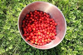 Homegrown sour cherries.