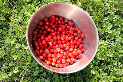 Homegrown sour cherries.