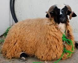 صور خروف كبش العيد الأضحى المبارك Sheep Pictures