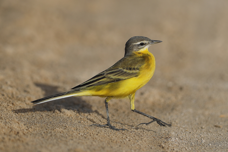 Yellow Wagtail - flava