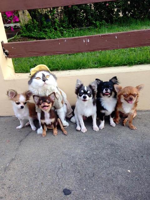 Gato vira líder de família de cães leva uma matilha de cães e fornece proteção e afagos para o seu protegido
