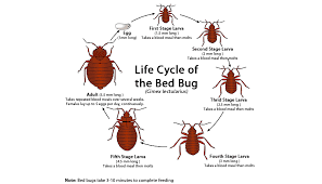 Bed Bugs -Characteristics, Life Cycle and Control Measures,where do bed bugs live and how to get rid of them,what chemical kills bed bugs,bed bug life span