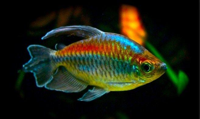 Pakan Ikan Congo Tetra