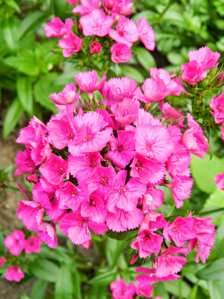 Magenta sweet william Dianthus barbatus James Gardens Etobicoke by garden muses-not another Toronto gardening blog