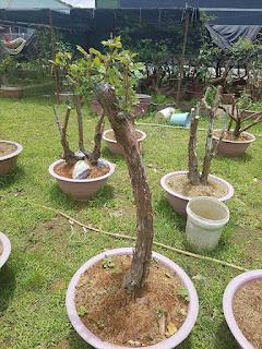 hoa hồng thân gỗ tầm xuân