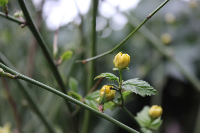 UrbanVegPatch Kerria japonica flower buds in March