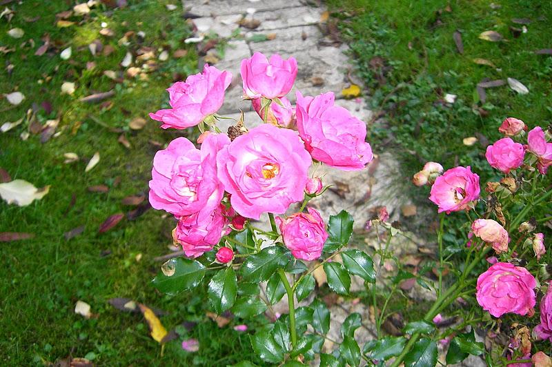 sakujade plantes et fleurs d 39 automne dans nos jardins. Black Bedroom Furniture Sets. Home Design Ideas