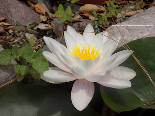 Beautiful white lotus found in Satkhol