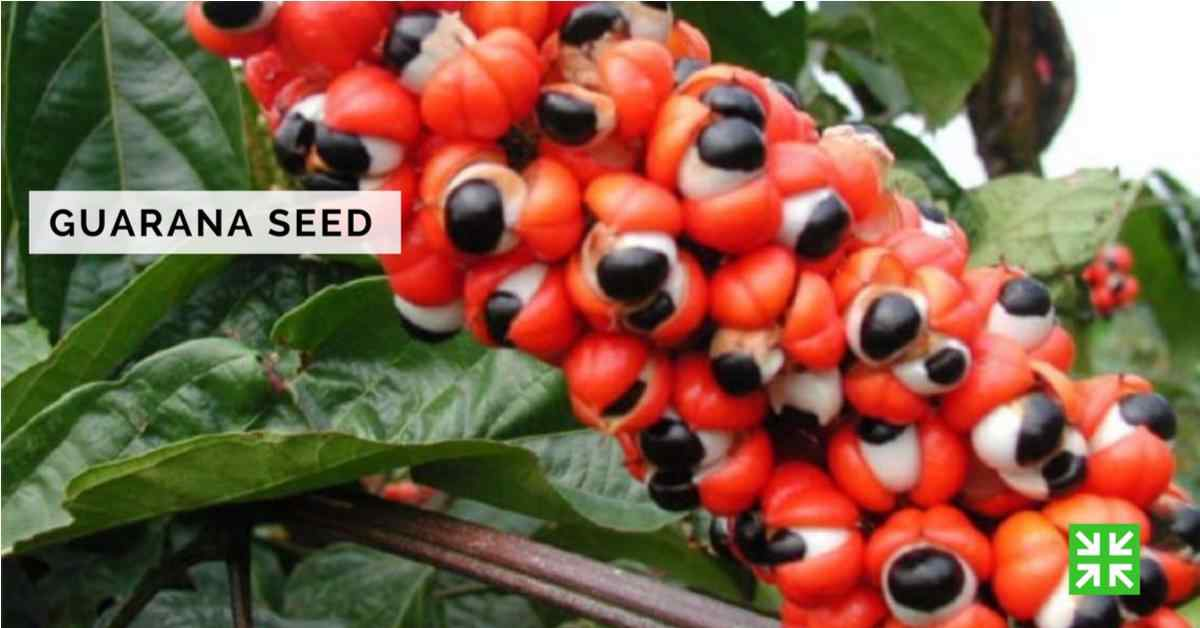 Bisnis FKc Syariah - Guarana Seed