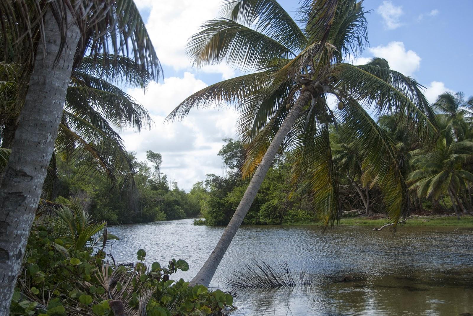 mangrove trace des caps martinique