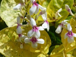Pseuderanthemum carruthersii - Pseudéranthème de Carruthers