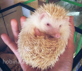 Pencinta binatang niscaya tau dong dengan binatang mungil yang satu ini Harga dan Jenis Landak Mini Paling Bagus di Indonesia
